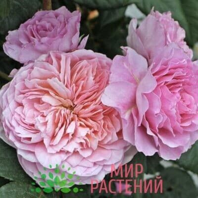 Штамбовая роза Eisvogel. Айсфогель /90 см. Тантау.1