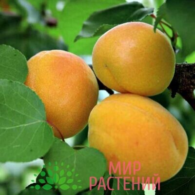 абрикос жигулевский сувенир