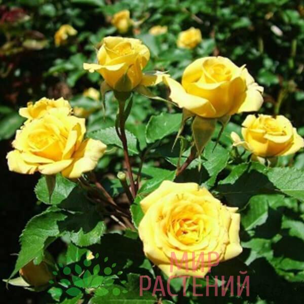 goldjuwel роза