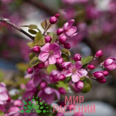 яблоня декоративная хелена