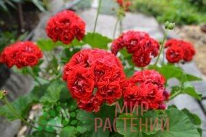 Пеларгония Rosebud Red