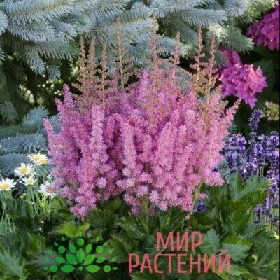 астильба китайская little vision in pink