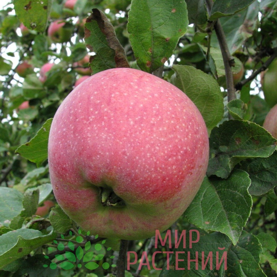 яблоня осеннее полосатое