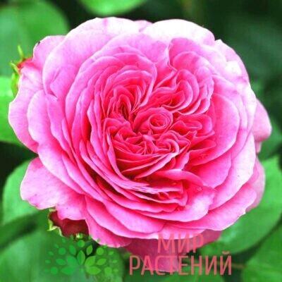 роза баронессе
