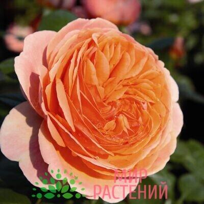 роза чипендейл штамб