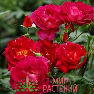 роза иль де флерс