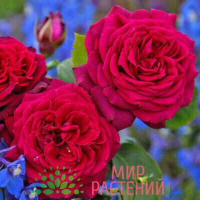 роза графиня диана