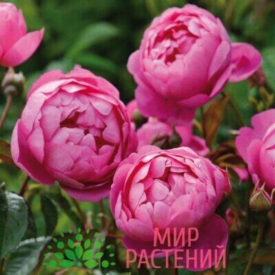 роза кустовая роял джубиле