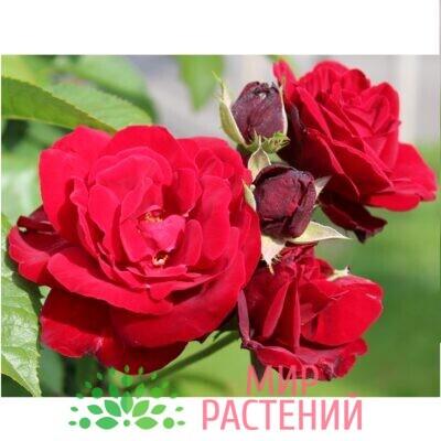 роза европиана