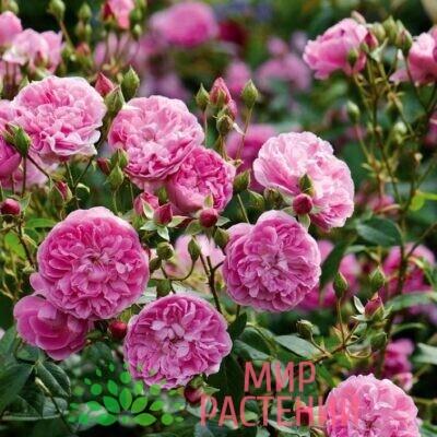 роза кустовая харлоу кар