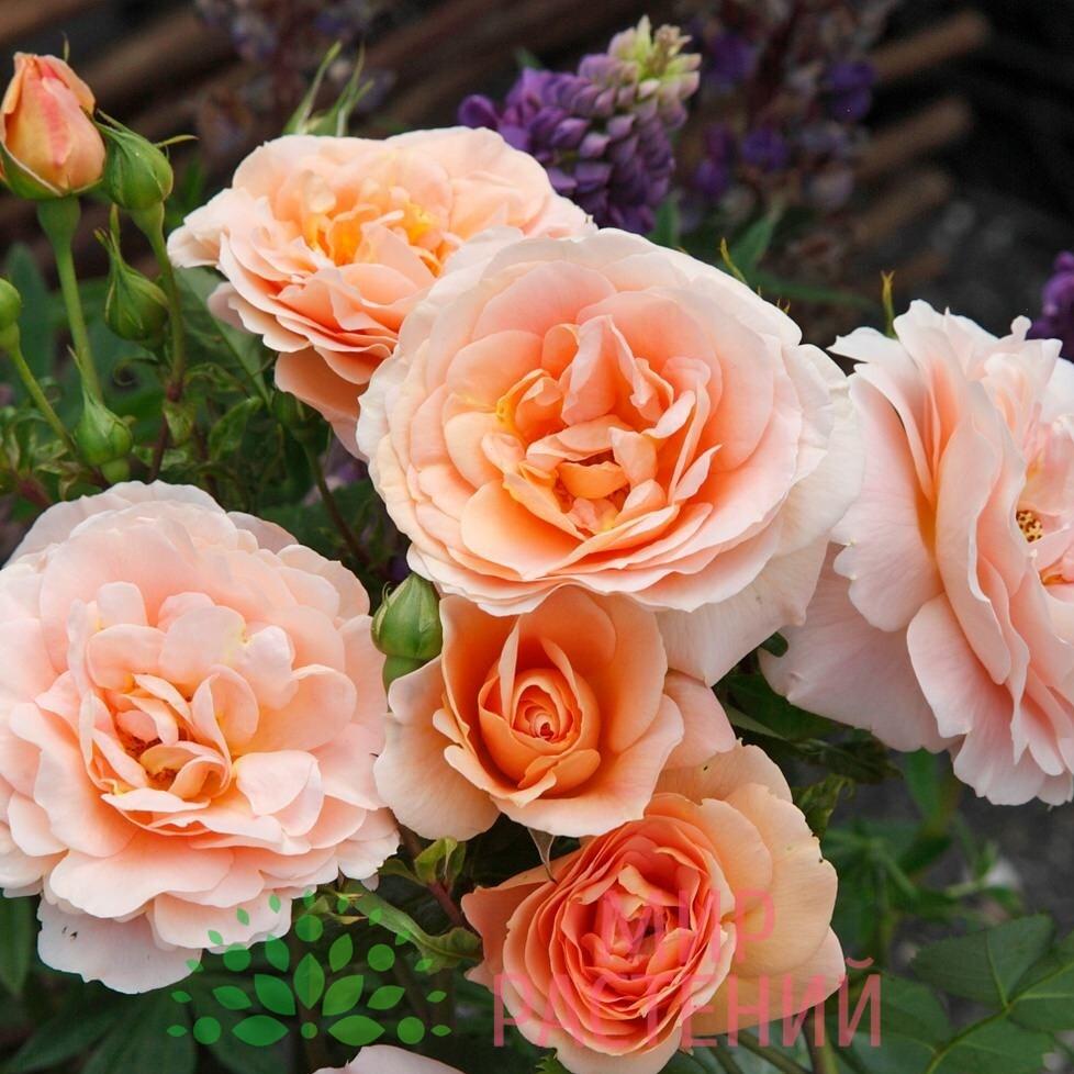 роза импала