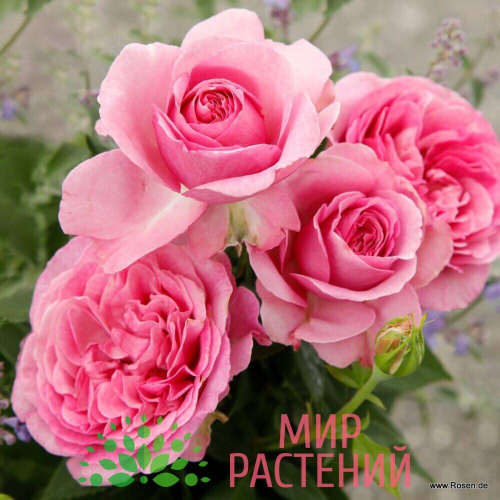 Кениген Мари роза