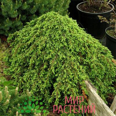 почвопокровный стелющийся хвойный кустарник высотой до 0,2м и диаметром кроны до 1,5м. Растет медленно. Хвоя насыщенного темно-зеленого цвета длинной 8-12 мм. Очень выносливый сорт, растет на бедных и сухих почвах. Однако, предпочитает рыхлые, слабокислые, суглинистые или супесчаные почвы. Используется для создания штамбовых форм. Предпочитает солнечные места, теневынослив. Устойчив к городским условиям.