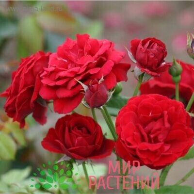 роза Nina Weibull