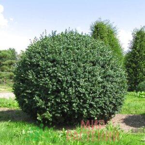Самшит вечнозеленый Ротундифолия