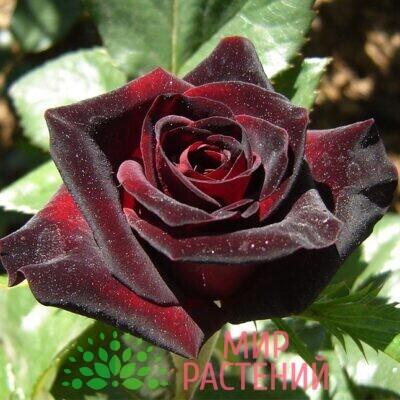 роза блэ баккара