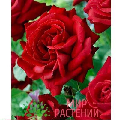 """Роза чайно-гибридная """"Dame de Coeur"""""""