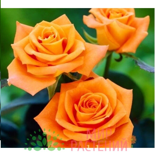 роза дорис тисерман