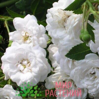роза кристал фейри
