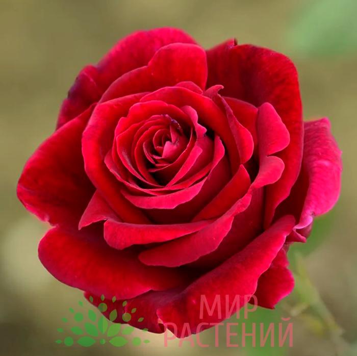 роза мистер линкольн