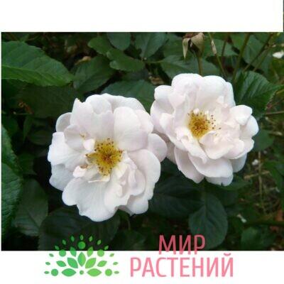 роза Мари Пави