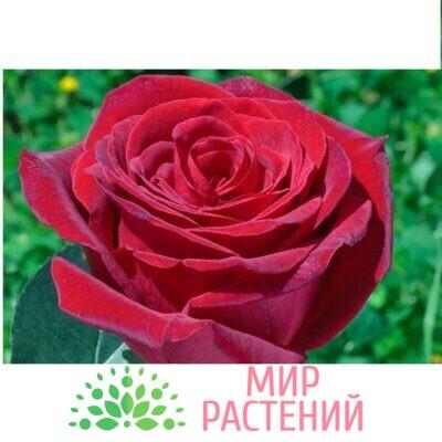 роза роял гарден