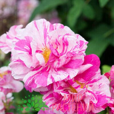 Европейские розы