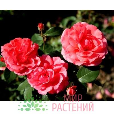 роза виндекинд