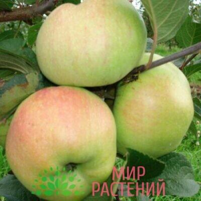 яблоня болотовское