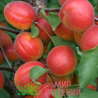 абрикос консервный
