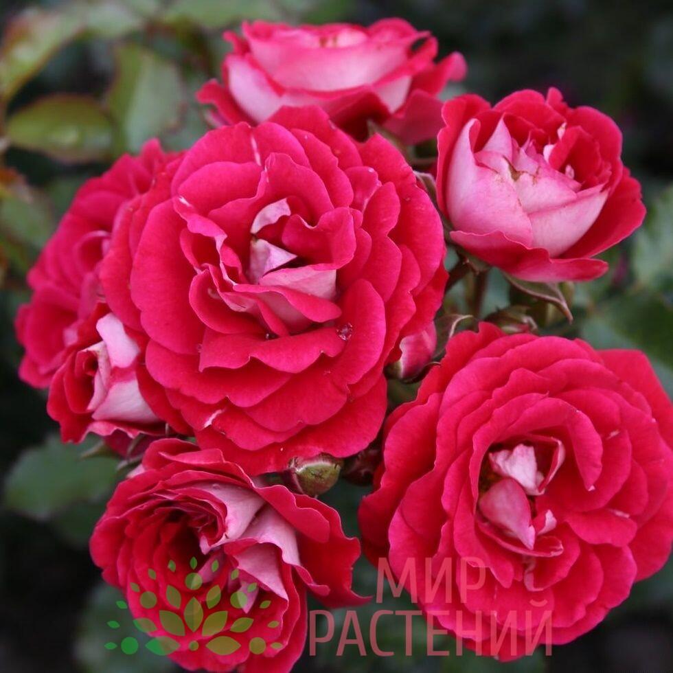 роза патио коразон