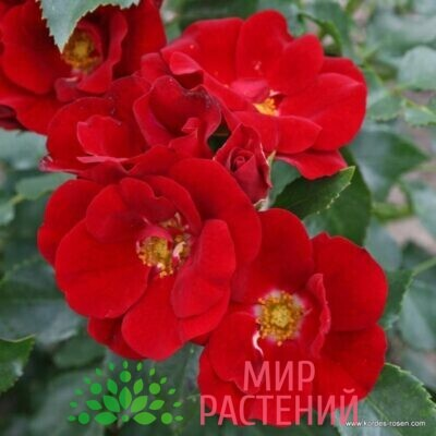 роза штамбовая морондо