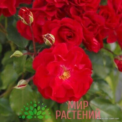 роза штамбовая ротилия