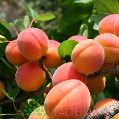 абрикос выносливый