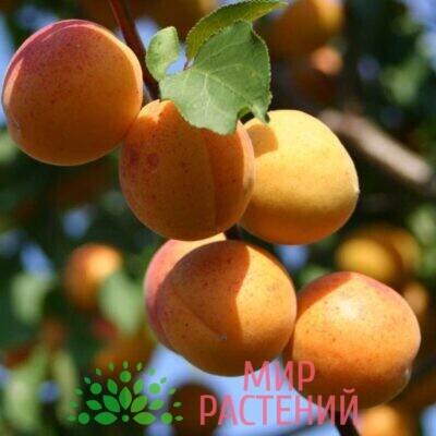 абрикос жердела